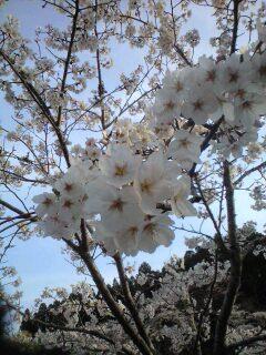 茂原公園 桜開花予想