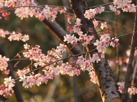 2015年 茂原市内の桜最前線
