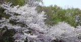 2016年 茂原の桜開花予想!
